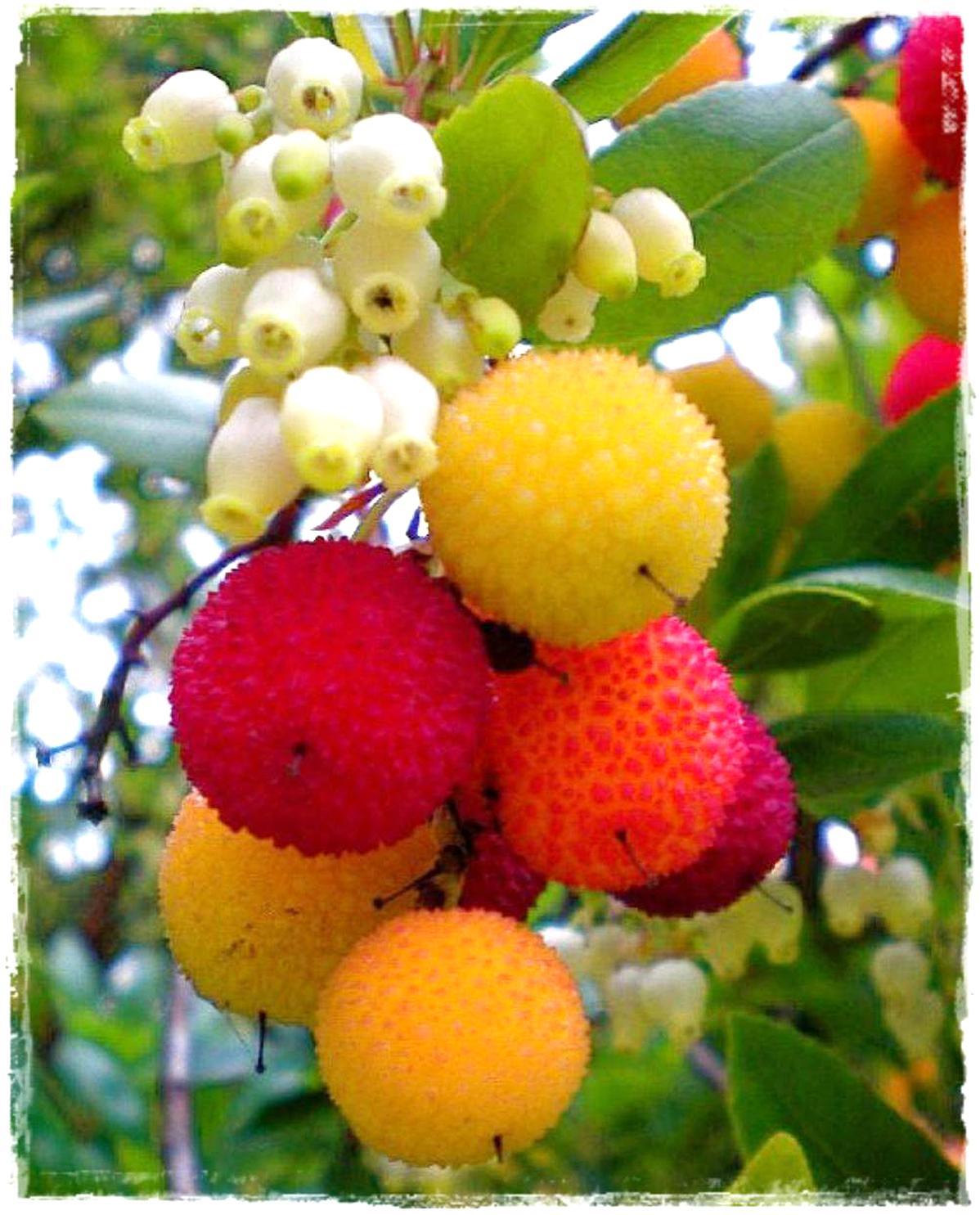 Pianta in vaso 7x7 frutti frutta arbutus unedo h 20 cm Corbezzolo Pianta in vaso di Corbezzoli